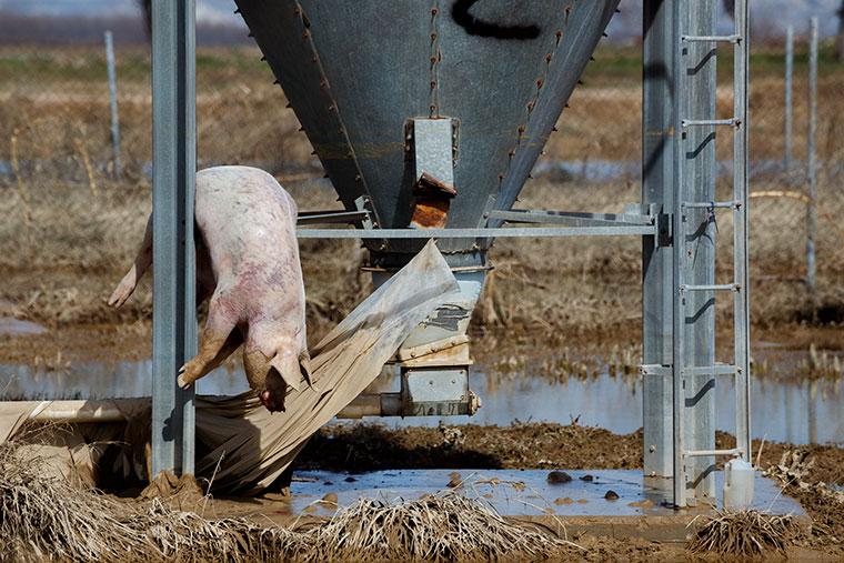 cerdo-colgado-silo-remolinos-inundaciones-ebro