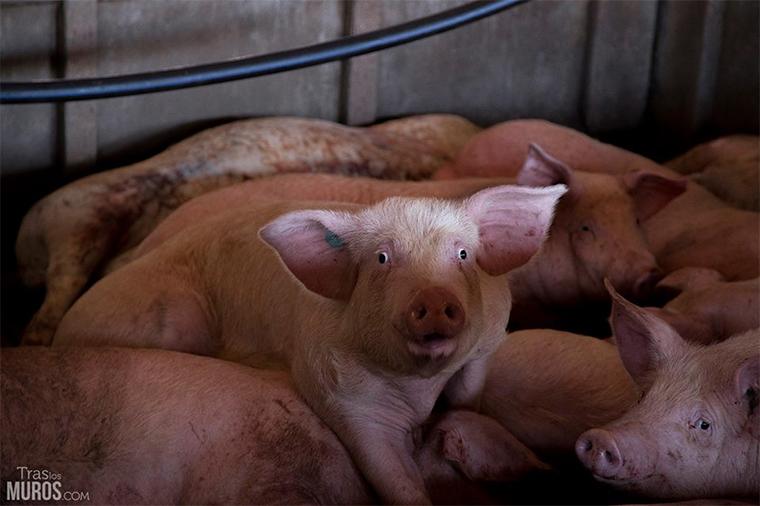 cerdo-granja-inundada-rio-ebro