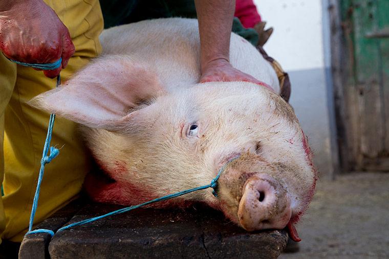 matanza-cerdo-espana-explotacion-animal