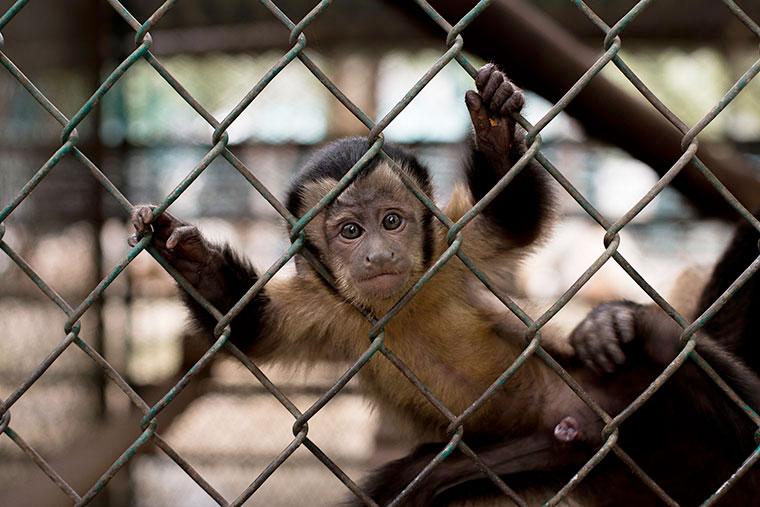 Mono zoológico explotacion animal