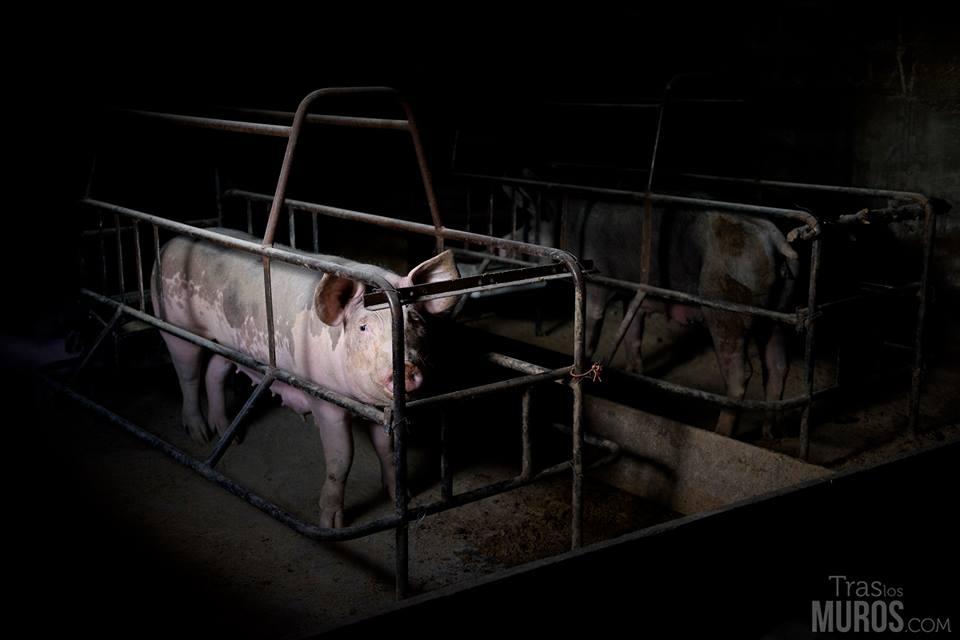 granja-cerdos-modulo-maternidad-explotacion-animal