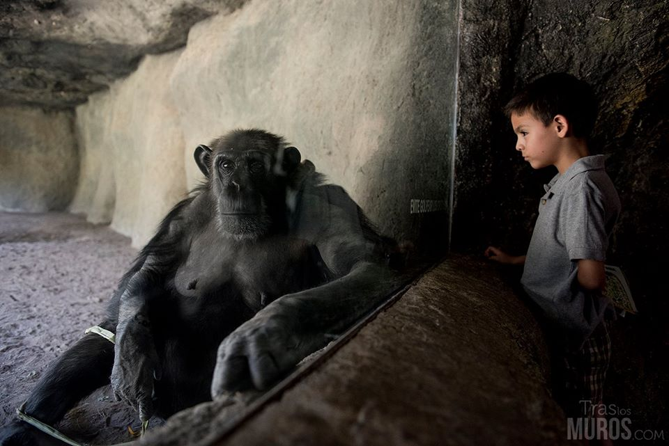 nino-observa-chimpance-zoologico