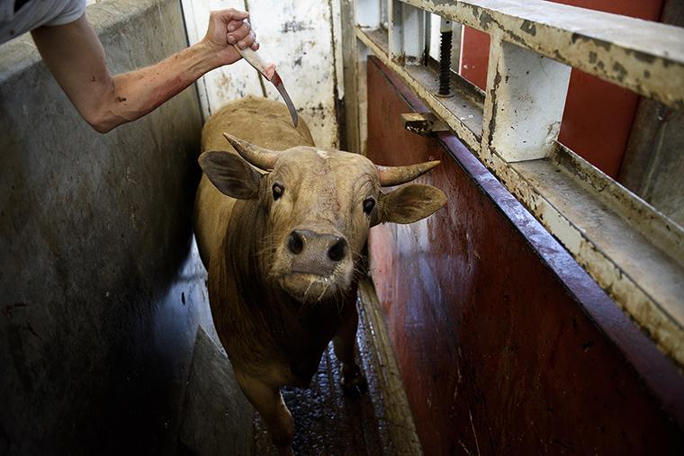 vaca aturdimiento matadero