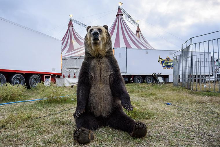 Oso circo