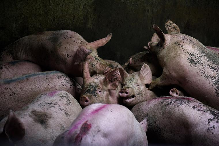 Cerdos matadero matanza
