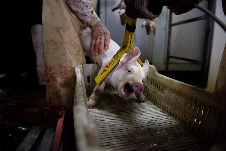 Cerdo electrocución matadero