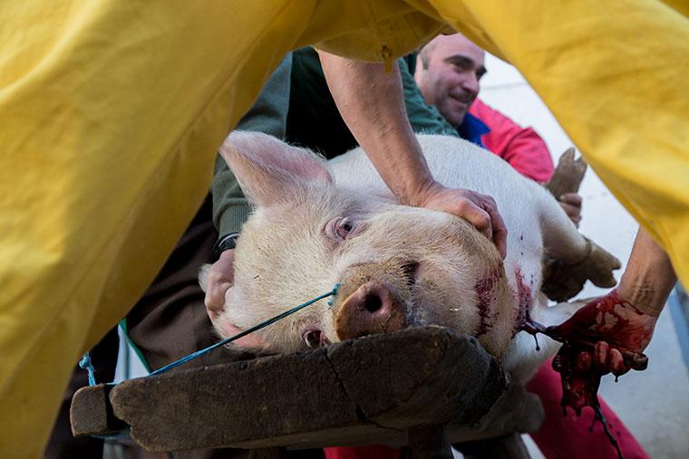 cerdo-acuchillado-matanza