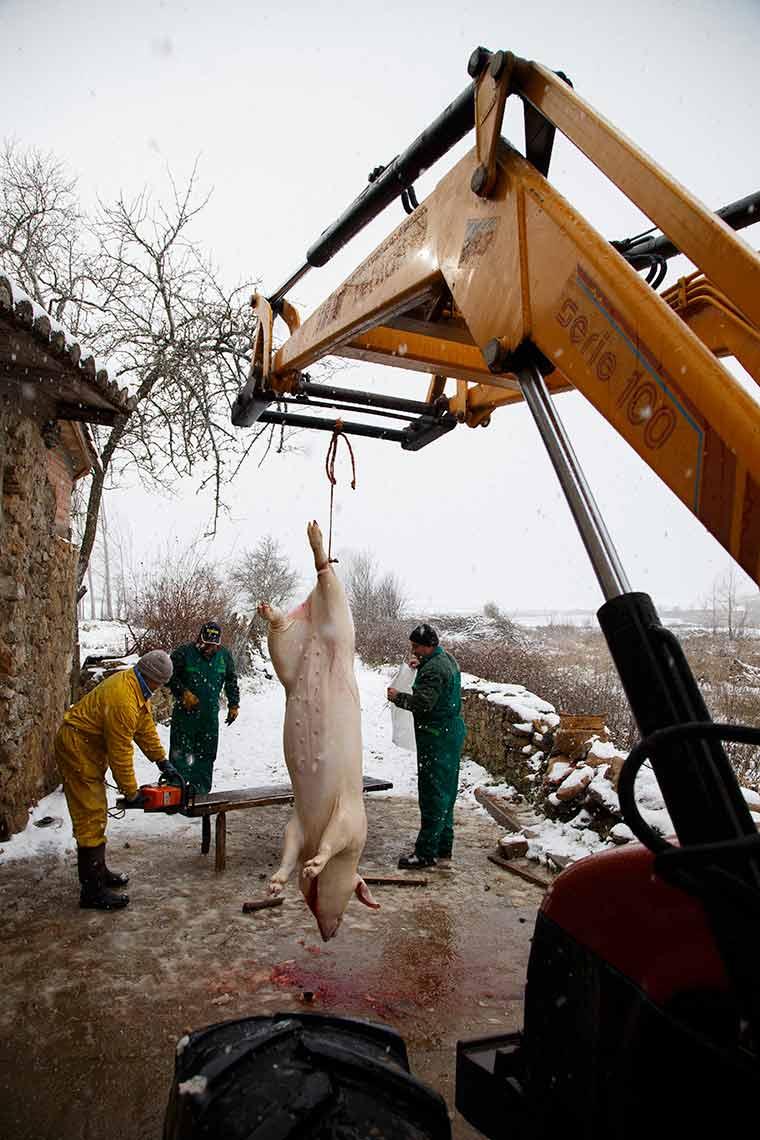 cerdo-matanza-nieve-colgado-tractor