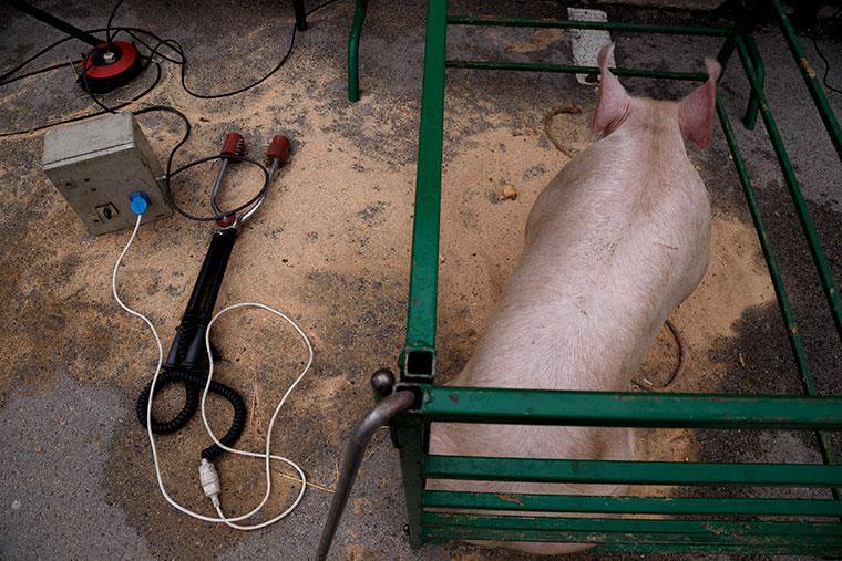 cerdo-matanza-popular-aparato-electrocucion