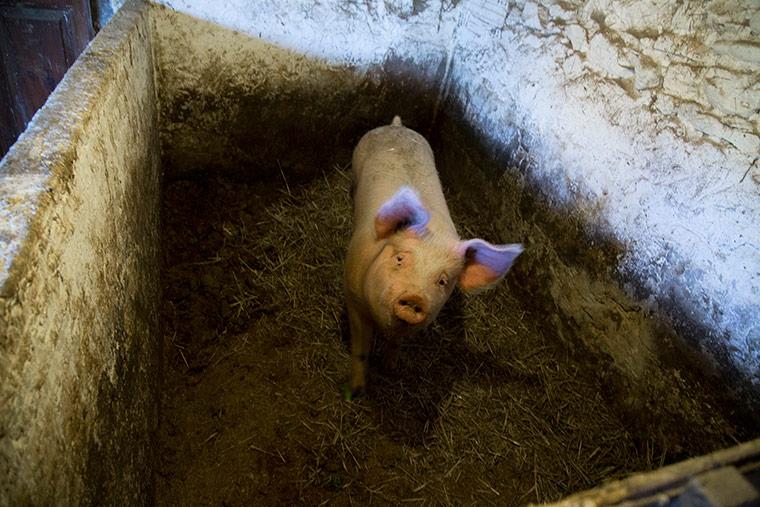 cerdo-mira-antes-matanza-cerdo