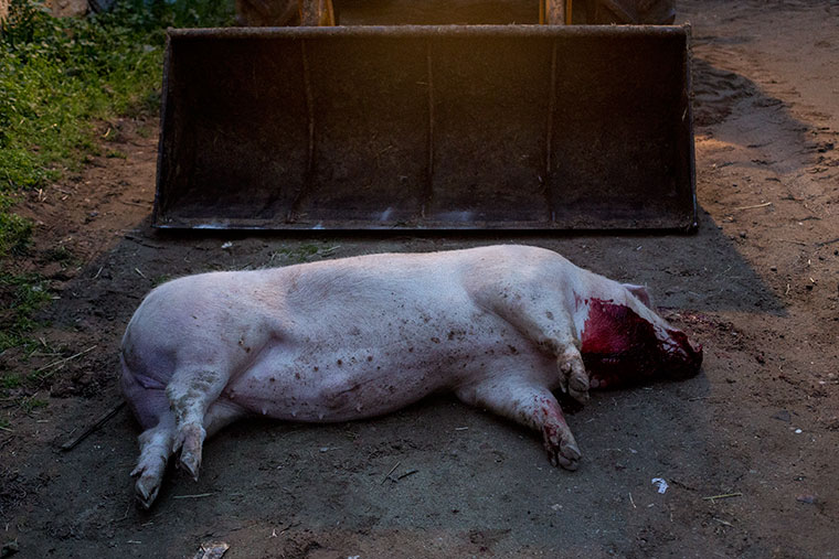 cerdo-muerto-excavadora-suelo-matanza