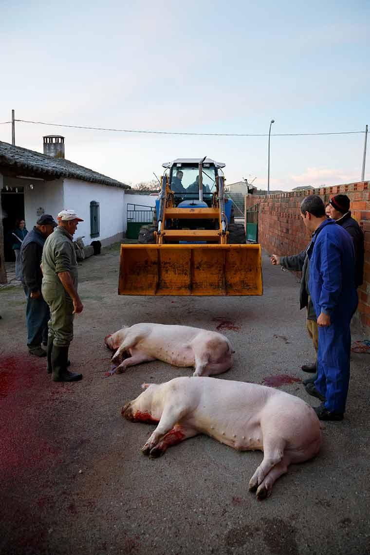 matanza-cerdos-muertos-excavadora