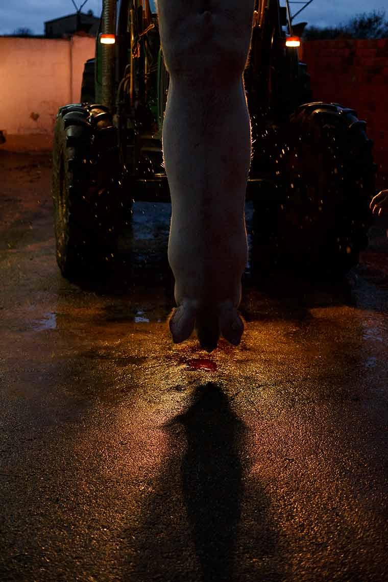 menor-tractor-cerdo-matanza-colgado