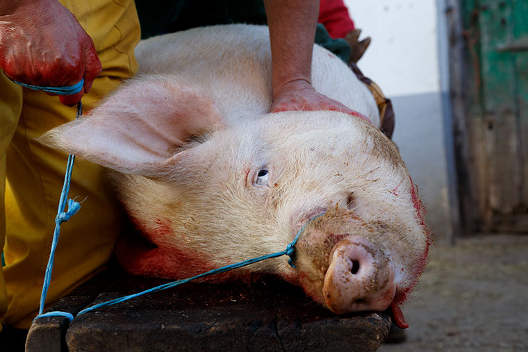mirada-cerdo-matanza