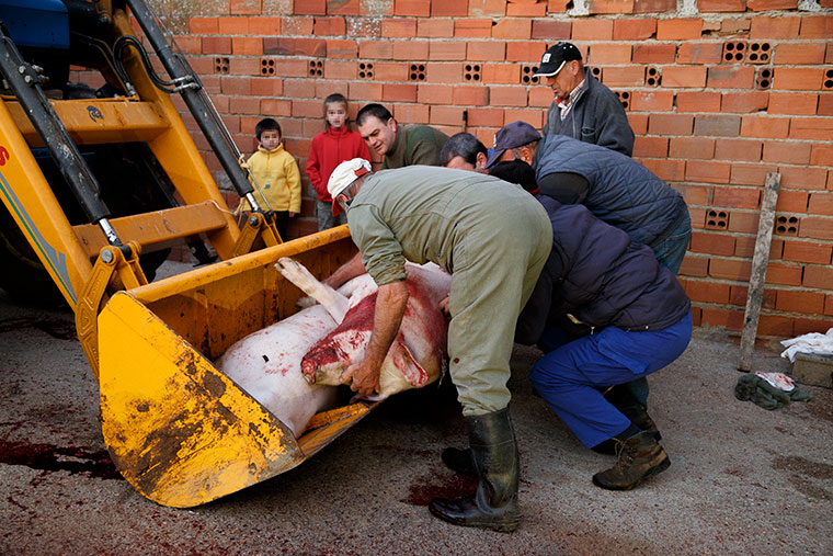 ninos-observan-matanza-del-cerdo