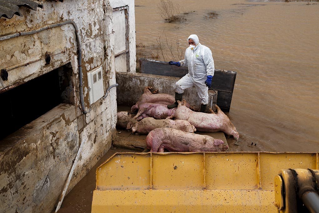 Flooded farms and animals drowned by the Ebro overflow