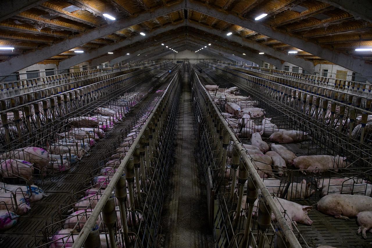 Gestation area, pig farm.