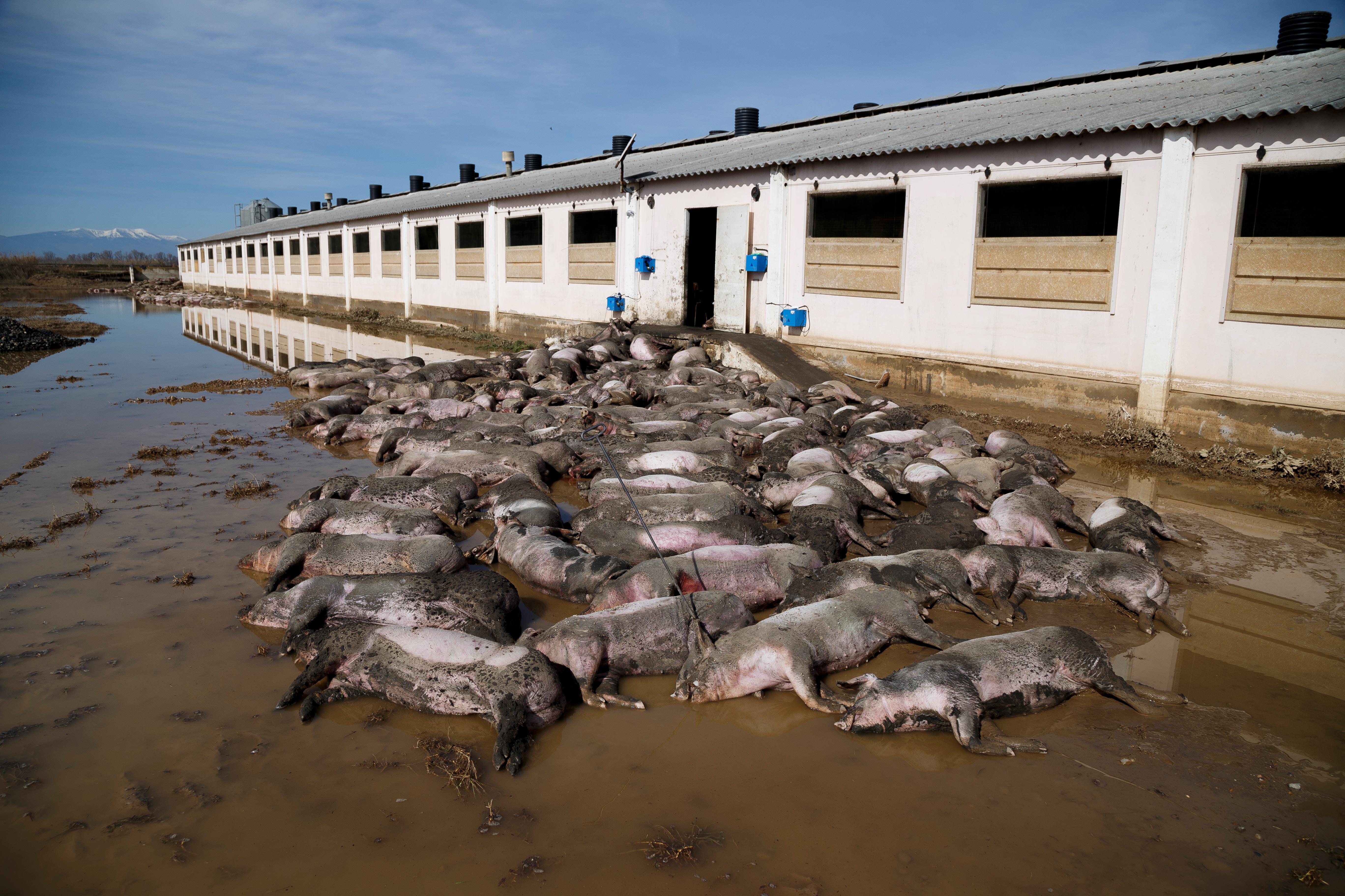 Granjas inundadas y animales ahogados por el